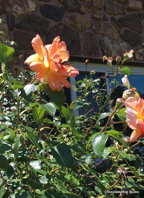 May flowers - rose bushes
